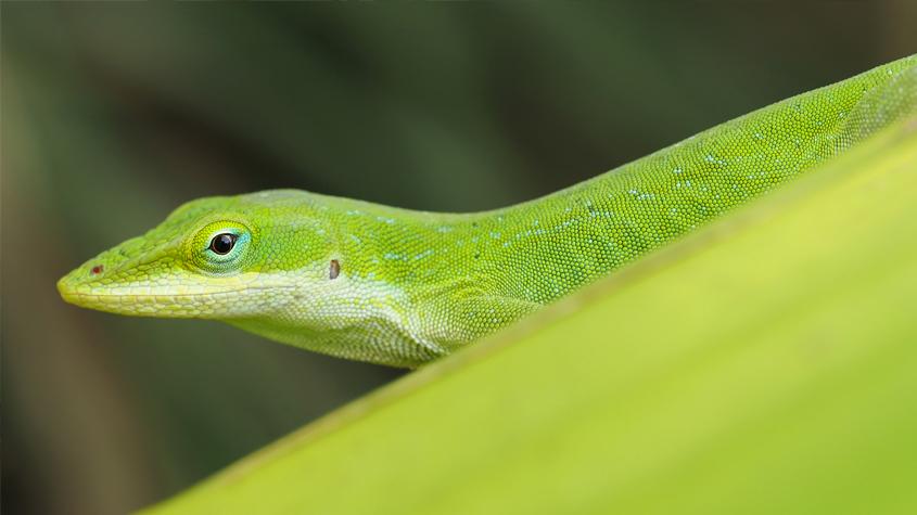 Hillsborough County - Yard lizards a Florida staple, like sunshine ...
