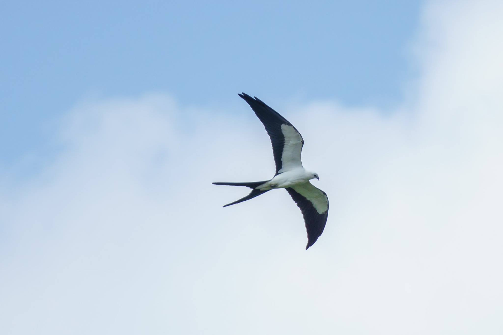 swallow tail kite